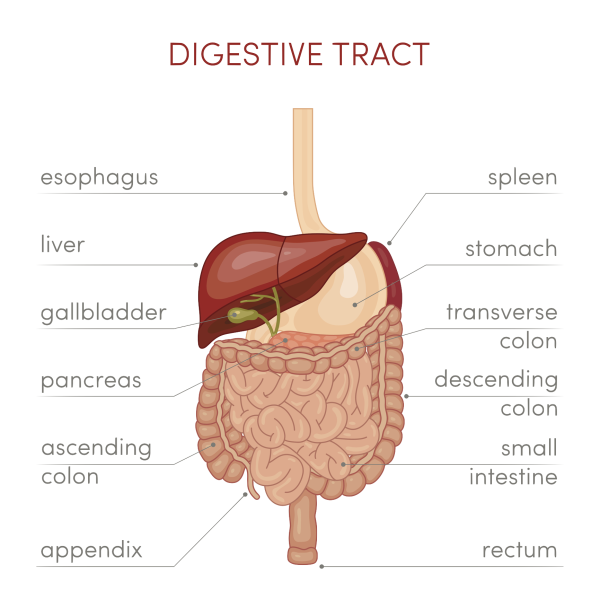 Intestine and Colon anatomy